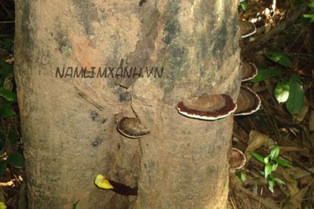 hình ảnh nấm lim xanh trong rừng Quảng Nam