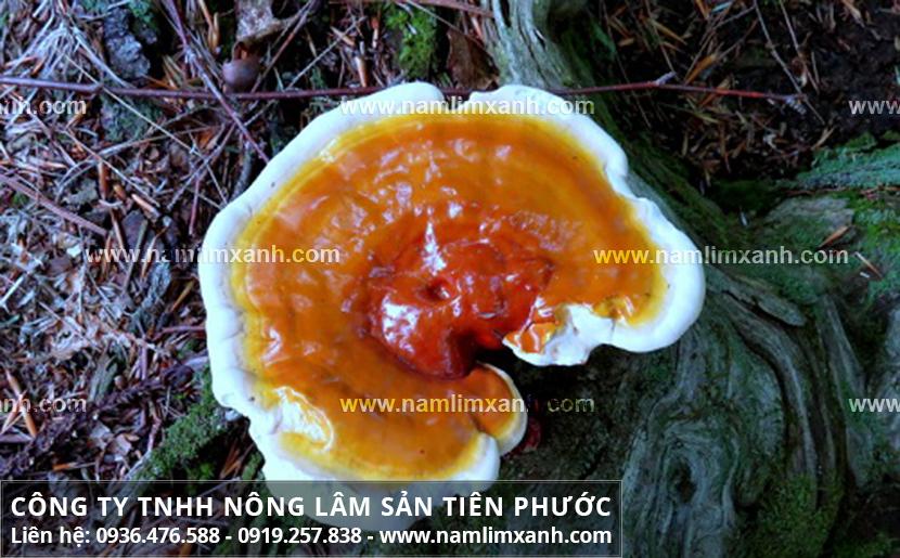 Hình ảnh nấm lim xanh tự nhiên với đặc điểm của nấm lim xanh Quảng Nam