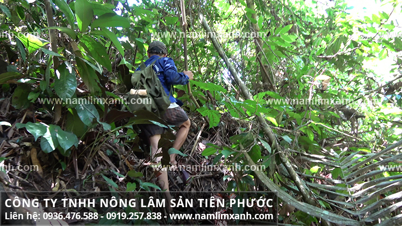 Hình ảnh nấm lim xanh với hình ảnh nhận biết nấm lim rừng và trồng