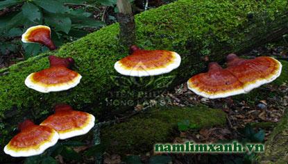 Vì sao nấm Lim xanh là thảo dược có nhiều giá trị?