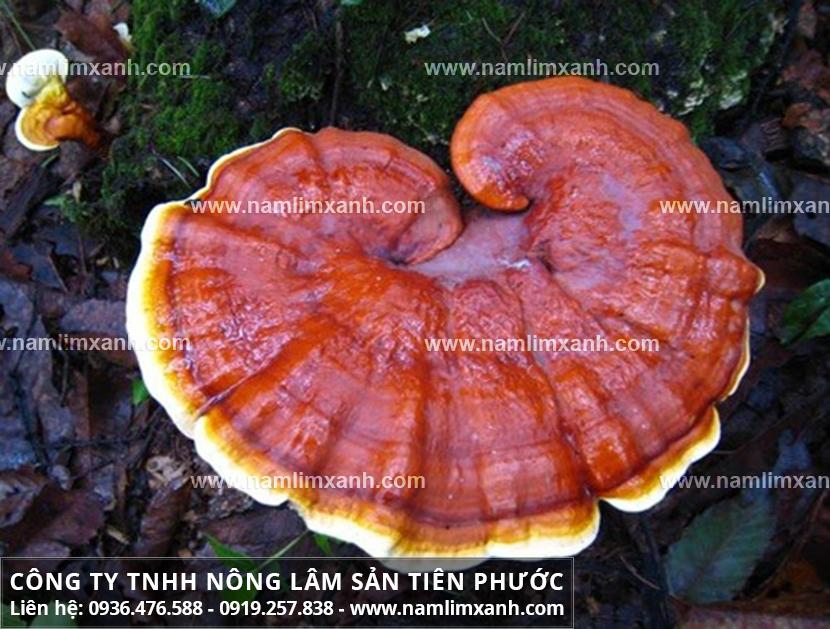 Tác dụng nấm lim xanh với cách dùng nấm lim xanh Quảng Nam hiệu quả