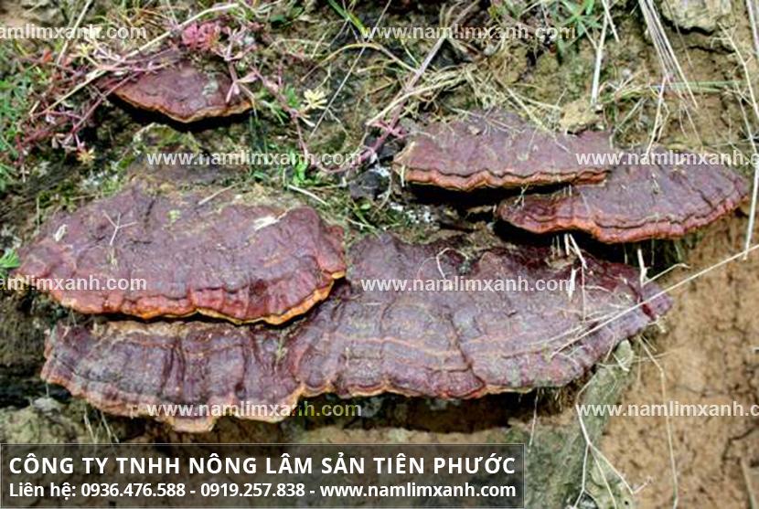 Nấm lim xanh Quảng Nam với đặc điểm nấm lim xanh tự nhiên Tiên Phước