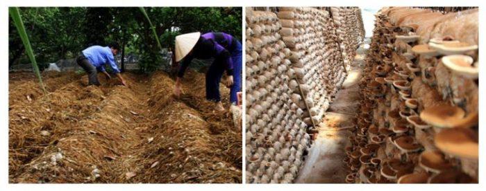 Nấm nuôi trồng không cho giá trị cao như nấm mọc tự nhiên.