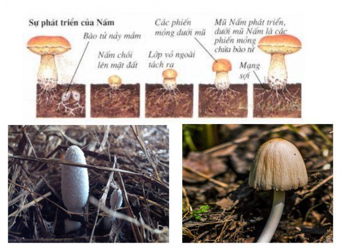 Sự phát triển của nấm ăn trong tự nhiên như thế nào?
