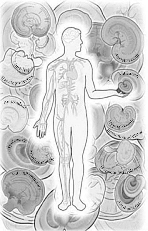 Các lợi ích sức khỏe mặc nhiên được công nhận của nấm lim
