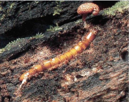 Nấm đông trùng hạ thảo