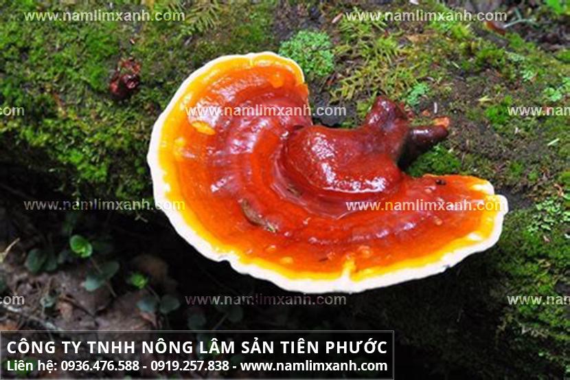 Tác dụng của nấm lim xanh với công dụng chữa bệnh của cây nấm lim rừng