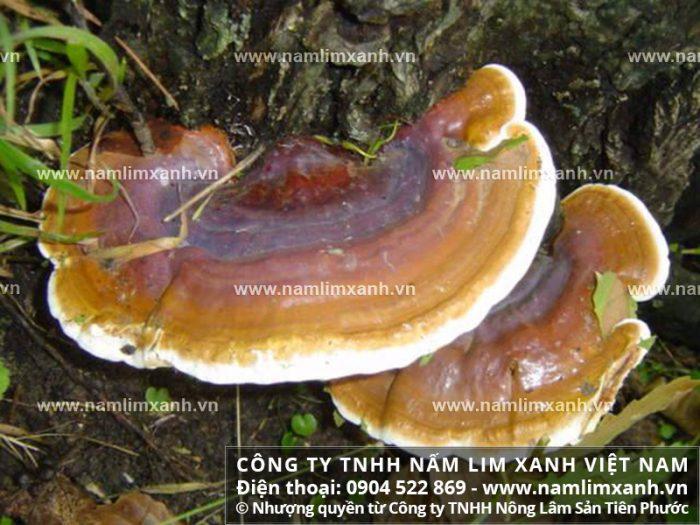 Hình ảnh nấm lim rừng tự nhiên