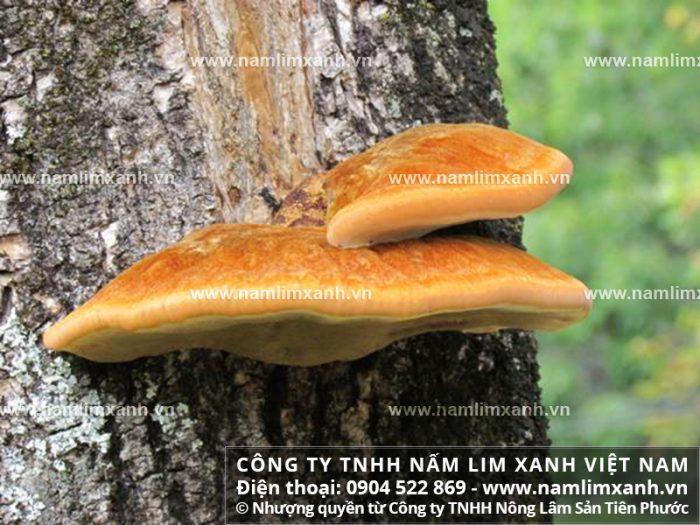 Bán nấm lim xanh tại Nam Định với cách phân biệt nấm và giá bán 1kg