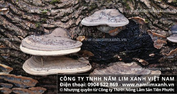 Giá bán 1kg nấm lim xanh tại Thanh Hóa với công dụng nấm lim Lào