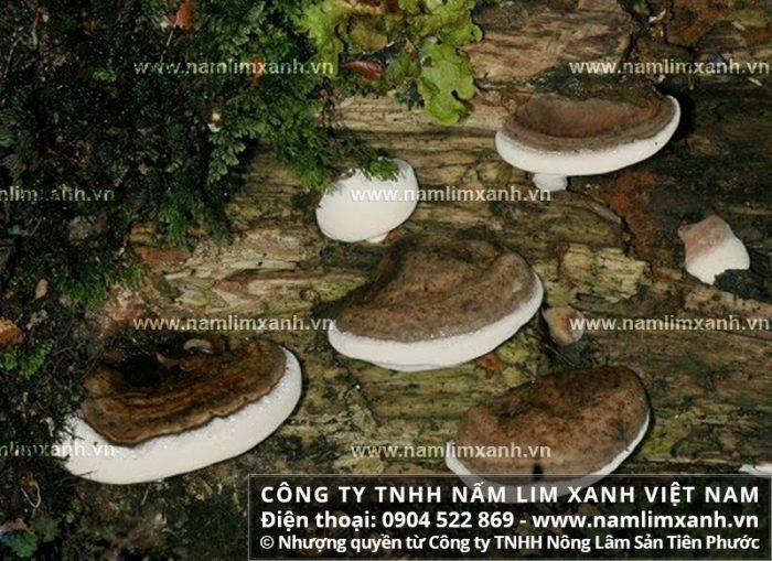 Giá bán nấm lim xanh tại Vũng Tàu với địa chỉ mua và tác dụng nấm