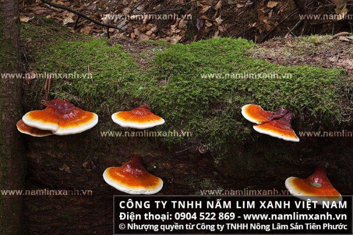 Hình ảnh về cây nấm lim xanh rừng Quảng Nam
