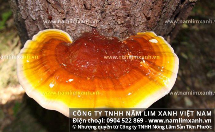Mua bán nấm lim xanh tại Thái Bình với giá và tác dụng nấm lim rừng