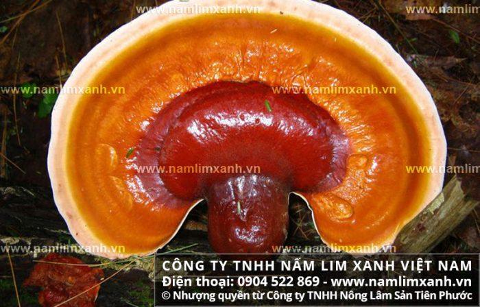Nấm cây lim có vai trò hỗ trợ điều trị nhiều căn bệnh