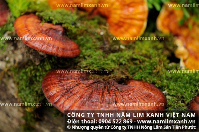 Nấm cây lim là một loài thảo dược sống ở các khu rừng nguyên sinh