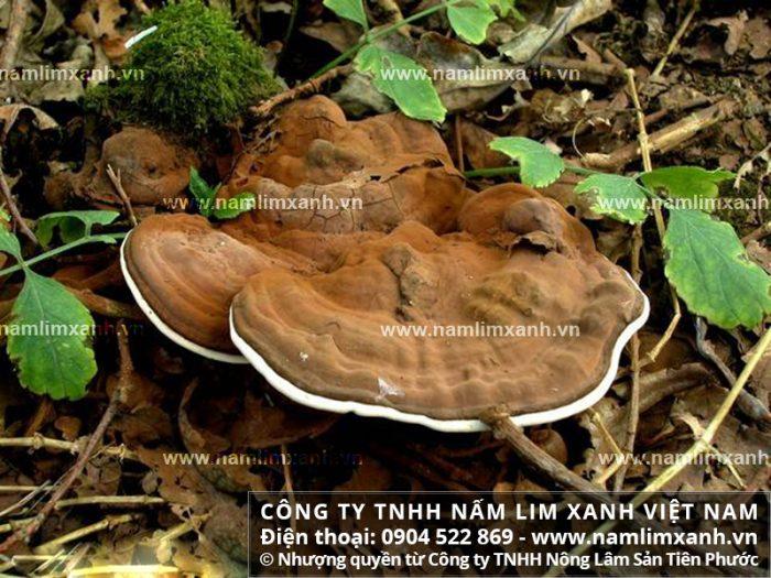 Nấm lim rừng phía Bắc giúp hỗ trợ điều trị bệnh