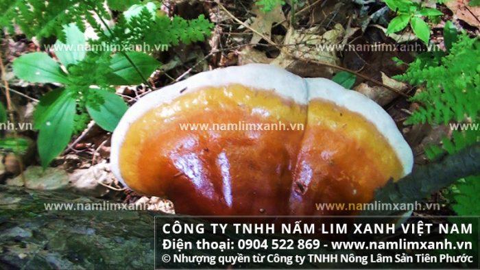 Nấm lim xanh bán ở Kiên Giang với giá và công dụng nấm lim xanh