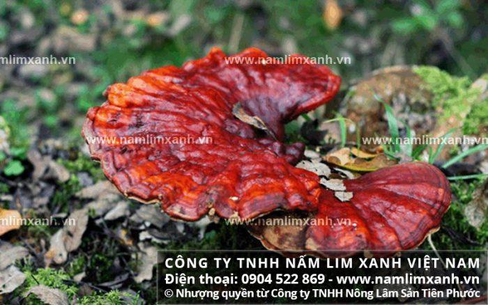 Nơi bán nấm lim xanh chuẩn rừng ở Quảng Bình với cách nấu và giá bán