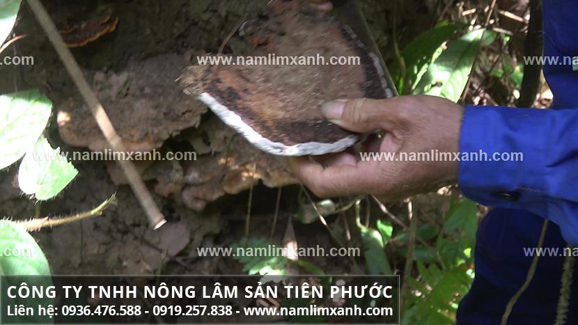 Phương pháp chế biến nấm lim xanh rừng khô giúp tăng cường sức khỏe