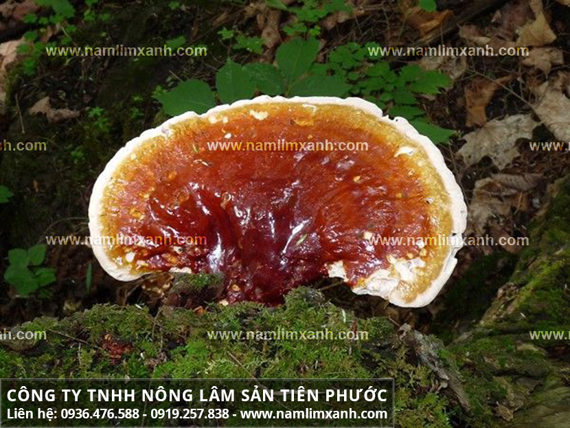 Nấm lim xanh chữa bệnh viêm gan và tác dụng của nấm lim rừng Quảng Nam