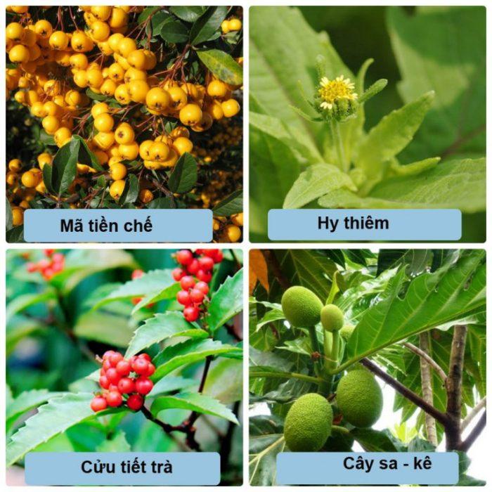 Chữa bệnh gout bằng thảo dược thiên nhiên qua một số loại cây quen thuộc