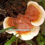 Tác dụng chữa bệnh của Ling zhi 8 protein trong nấm lim xanh