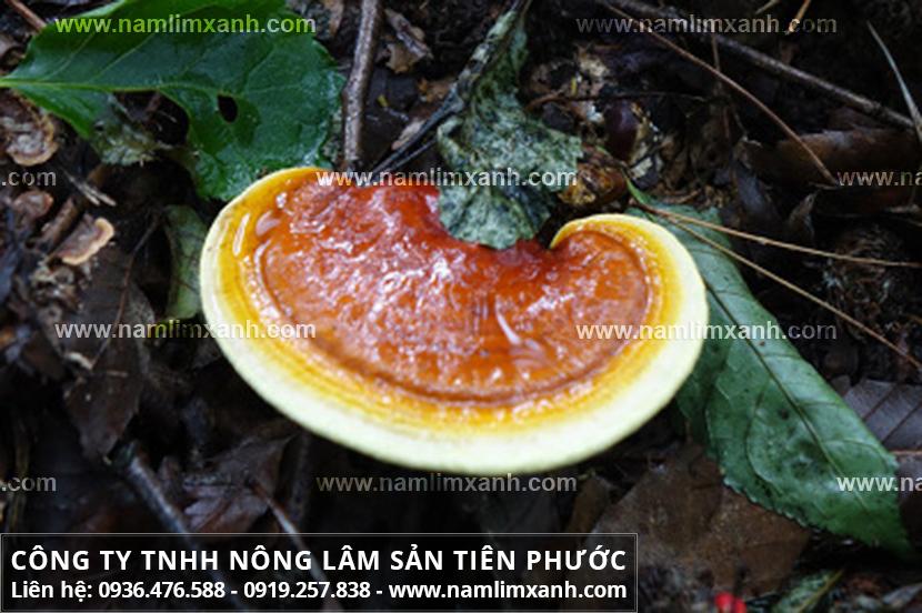 Cây nấm lim xanh chữa bệnh ung thư và đặc điểm nấm lim xanh Tiên Phước