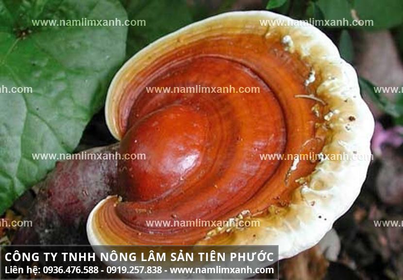 Nấm lim xanh chữa bệnh gan nhiễm mỡ hiệu quả với đặc điểm nấm lim Lào