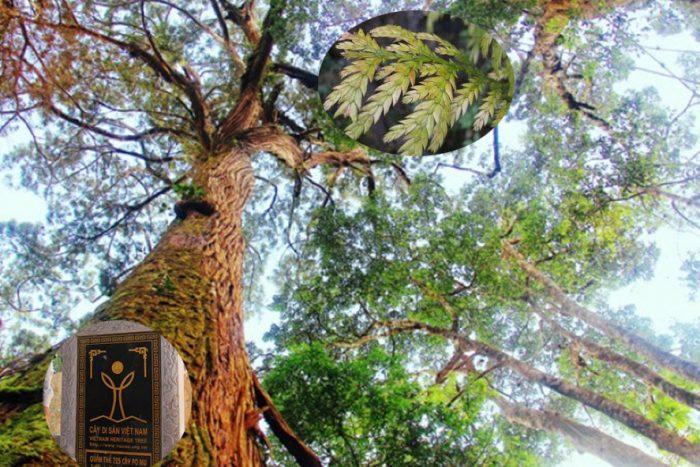Cây di sản Quảng Nam pơ mu được chứng nhận di sản Việt Nam.