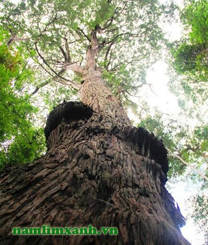 Rừng pơ mu Quảng Nam được công nhận là Cây Di sản