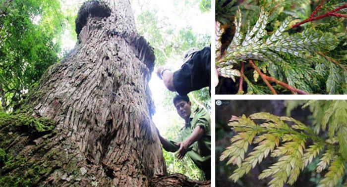 Đặc điểm của cây pơ mu – Cây di sản Quảng Nam.