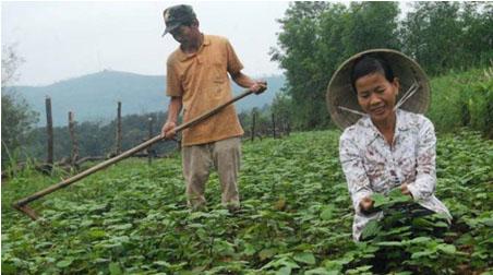 Hoắc hương được trồng để phát triển kinh tế tại Tiên Phước