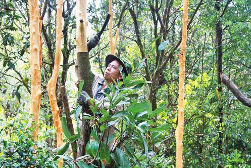 Một người dân Tiên Phước đang cần cù khai thác quế