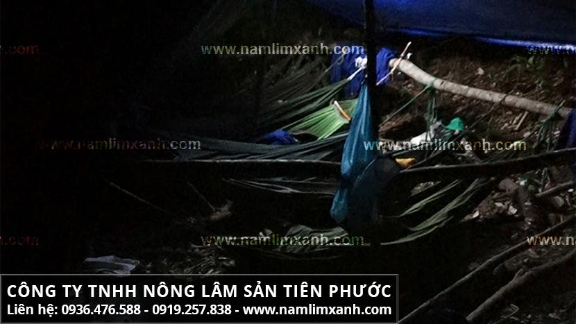 Giá nấm lim xanh Tiên Phước chính hãng và giá nấm lim xanh tại Hà Nội