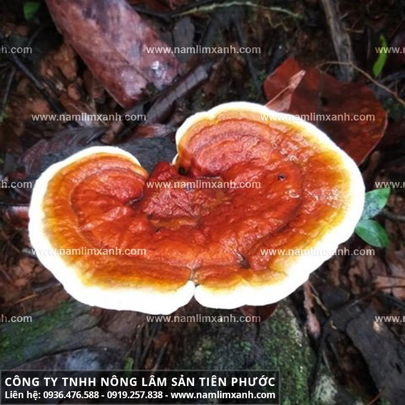 Công dụng của nấm lim xanh Quảng Nam với cách sử dụng nấm cây lim rừng