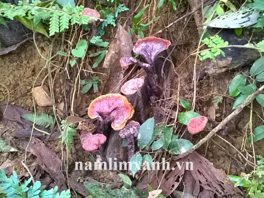 Nấm lim xanh chữa bệnh gout tác dụng chỉ có ở nấm lim xanh của Lào