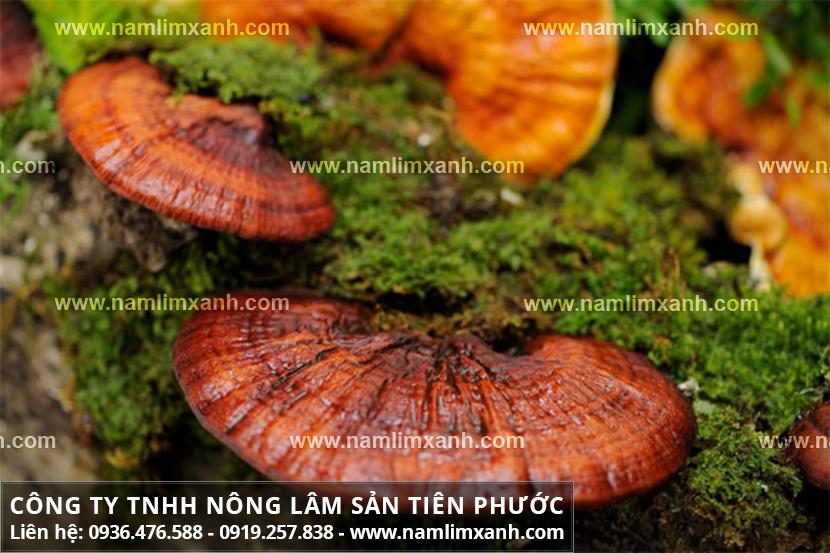 Các loại nấm lim xanh và cách nhận biết nấm lim xanh rừng Tiên Phước