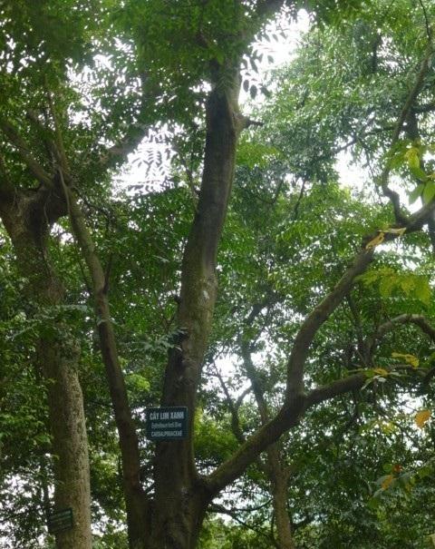 Hình ảnh nấm lim xanh rõ nét với các loại nấm lim xanh rừng tự nhiên