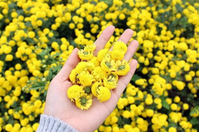 hoa cúc vàng thảo dược chữa trị huyết áp cao nấm lim xanh