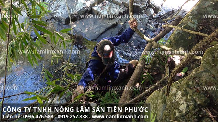 Nấm lim xanh Công ty Tiên Phước mua tại Hà Nội với địa chỉ bán nấm lim