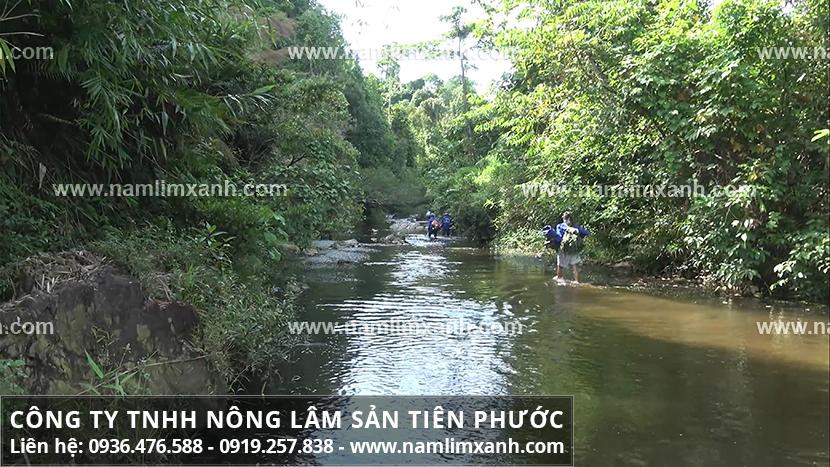 Nấm lim xanh ở Quảng Nam chữa bệnh viêm gan B nhờ thành phần dược chất