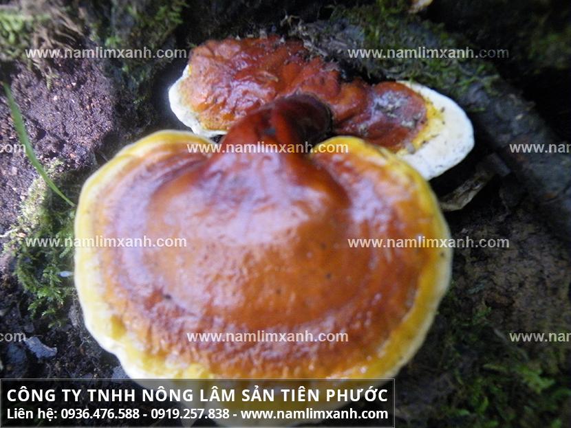 Sự thật về nấm lim xanh với cách chế biến cây nấm lim xanh Quảng Nam
