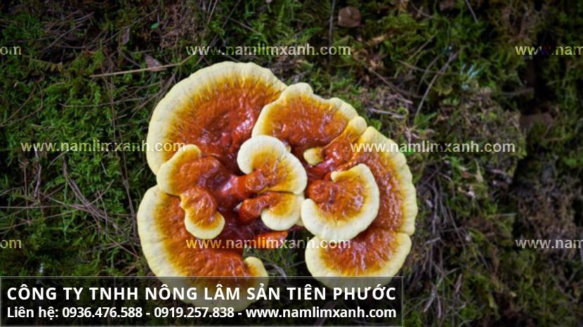 Tác dụng chữa bệnh của nấm lim xanh với tác dụng nấm lim Tiên Phước