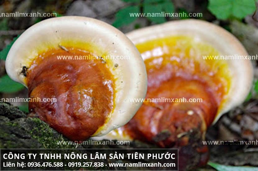 Tác dụng của nấm gỗ lim xanh và nấm lim xanh chữa bệnh xơ gan hiệu quả