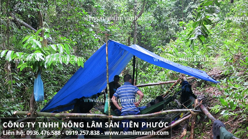Nấm lim xanh Quảng Nam với cách dùng và bảo quản nấm lim Quảng Nam