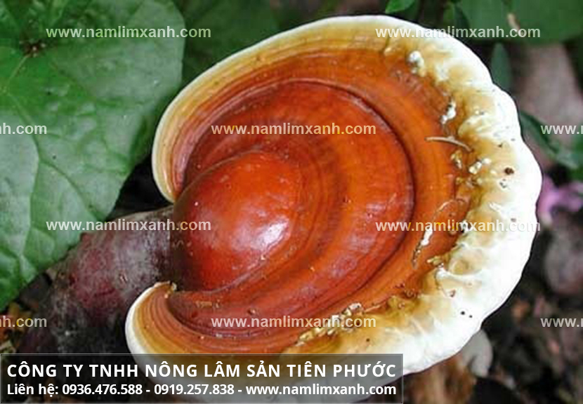 Bán nấm lim xanh tại Hà Nội và bảng giá nấm lim rừng Tiên Phước