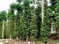 đặc sản hạt tiêu tiên phước nấm lim xanh quảng nam