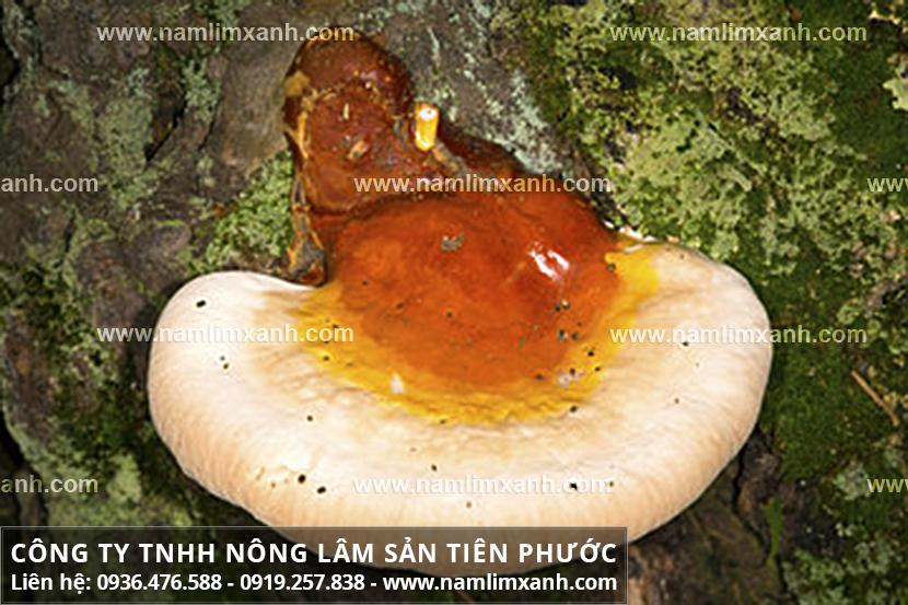 Nấm lim xanh chữa ung thư phổi với cách sử dụng nấm lim rừng Quảng Nam