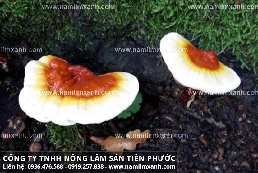 Tác dụng của nấm lim xanh rừng tự nhiên với nấm lim chữa bệnh ung thư