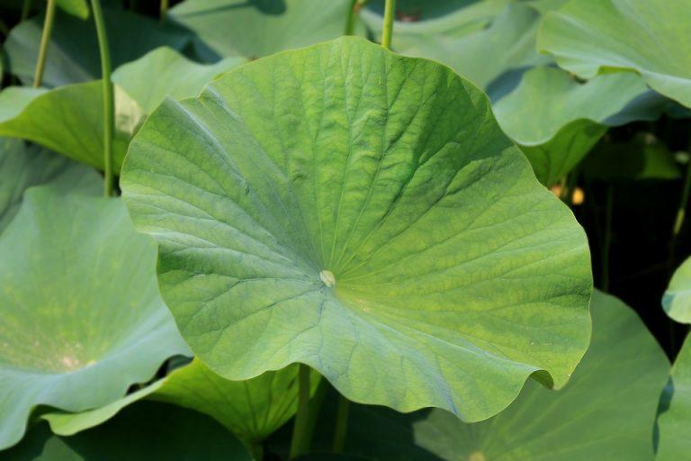 thảo dược giảm cân nấm lim xanh lá sen
